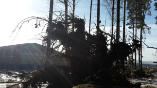 Juurakko vastavalossa Espoon Niipperissä. Espoon luonnonhoitoyksiköstä Helena Vaalasti tuli metsurin kanssa sahaamaan rungon sopivaan mittaan.