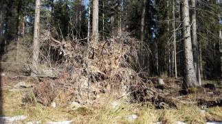 Juurakko on löytynyt! Puu on kuusi ja sen lempinimi on Hörsö. Juurakolla on hieno runko, monia paksuja juuria ja paljon pienenpieniä juuria sojottamassa joka suuntaan. Kuusen kaatuessa juuret ovat nostaneet mukanaan maa-ainesta ja kiviä.